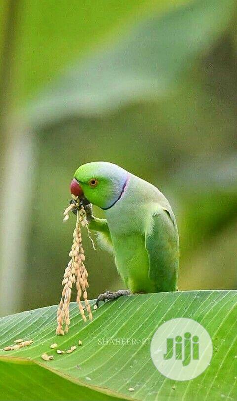India Ringneck Parrot