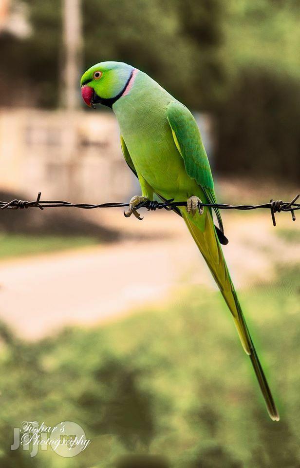 India Ringneck Parrot | Birds for sale in Ikeja, Lagos State, Nigeria