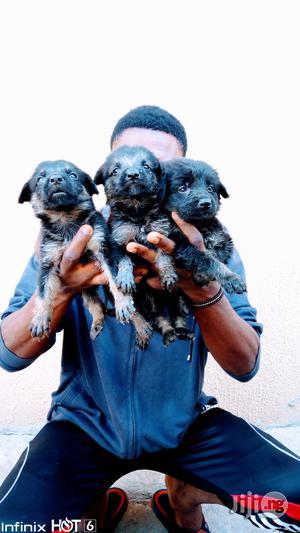 1-3 Month Female Purebred German Shepherd | Dogs & Puppies for sale in Ekiti State, Ilawe