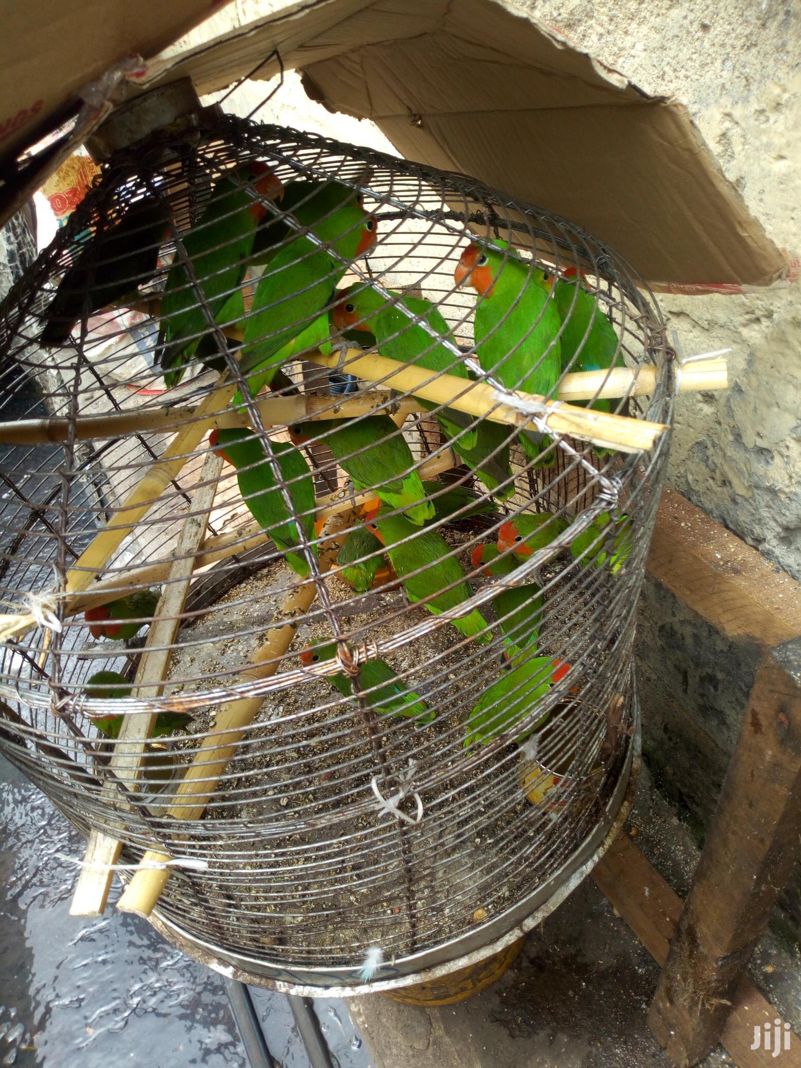 Love Bird (Male & Female) For Sale