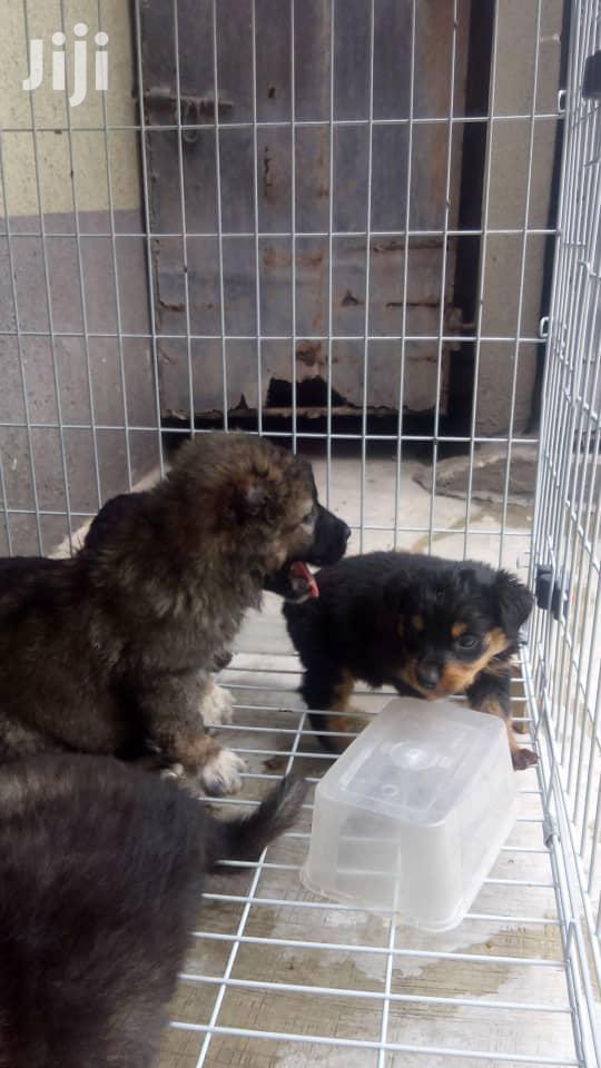 Caucasian Shepherd Dog | Dogs & Puppies for sale in Magodo, Lagos State, Nigeria