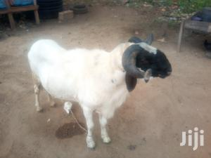 Ileya Ram For Sale | Livestock & Poultry for sale in Lagos State, Alimosho