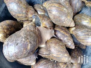 Big Snail For Sale   Other Animals for sale in Lagos State, Ikeja