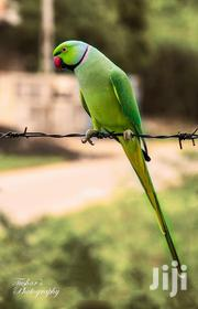 India Ringneck Parrot | Birds for sale in Lagos State, Lagos Island
