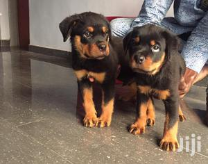 1-3 Month Male Purebred Rottweiler | Dogs & Puppies for sale in Lagos State, Ojodu