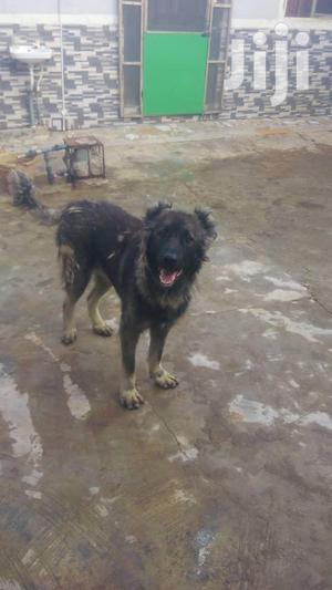 Adult Male Purebred Caucasian Shepherd   Dogs & Puppies for sale in Lagos State, Ojodu