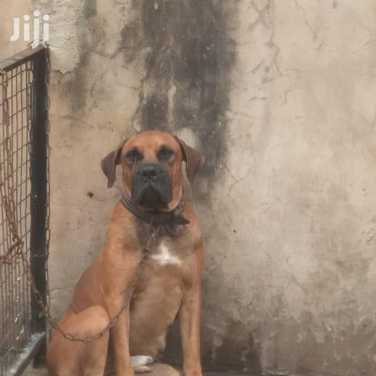 Adult Male Purebred Boerboel | Dogs & Puppies for sale in Ojodu, Lagos State, Nigeria