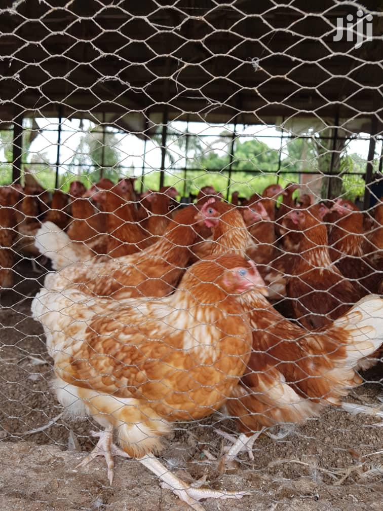 Point Of Lay Is Available Today | Livestock & Poultry for sale in Akinyele, Oyo State, Nigeria