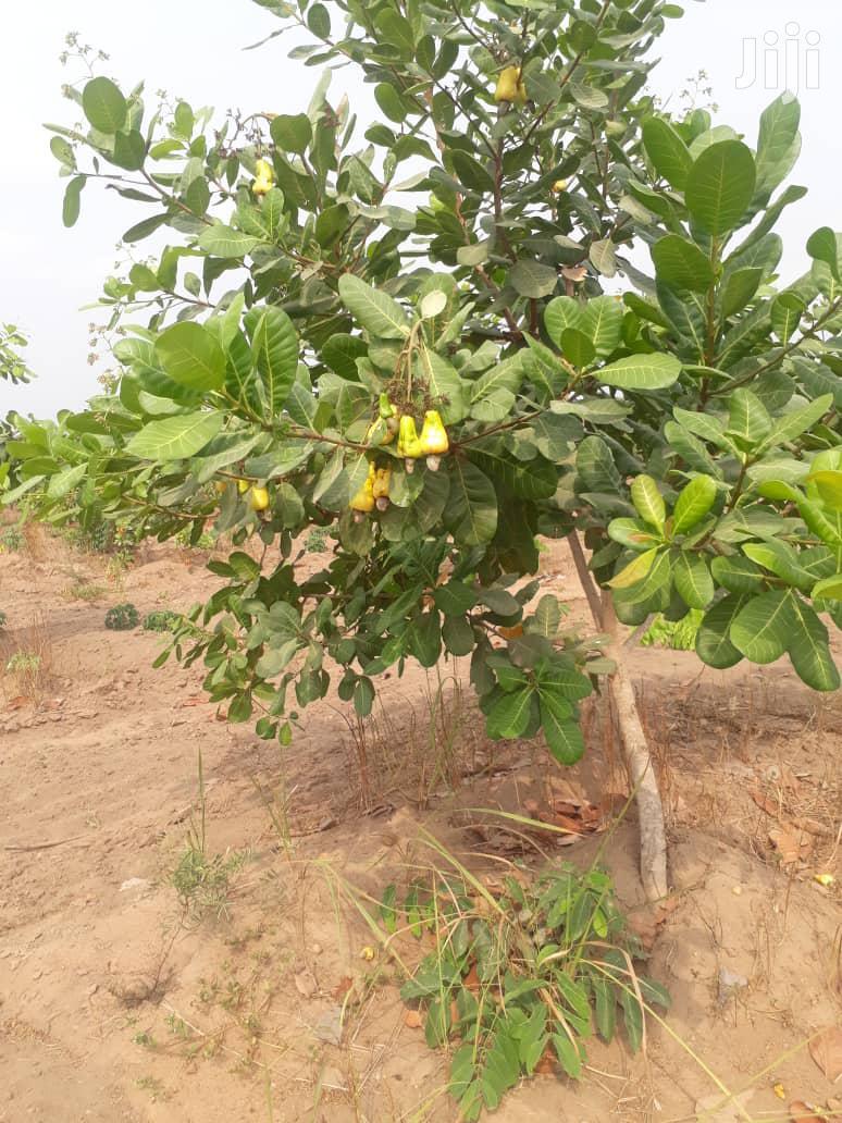 Hybrid Dwarf Cashew Seedlings | Feeds, Supplements & Seeds for sale in Ibadan, Oyo State, Nigeria