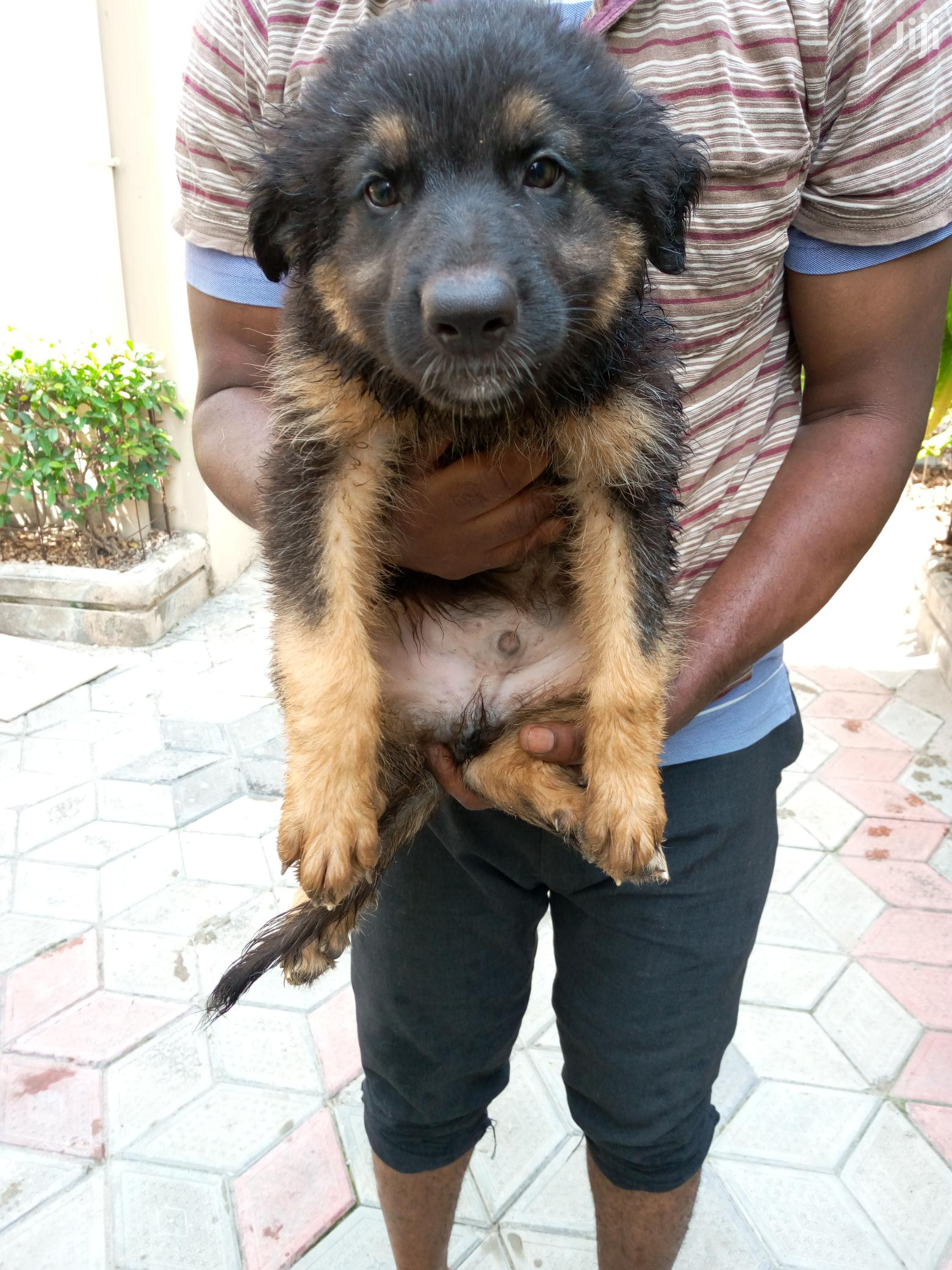 Archive: Young Male Purebred German Shepherd Dog