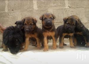 Baby Female Purebred German Shepherd | Dogs & Puppies for sale in Lagos State, Ikorodu