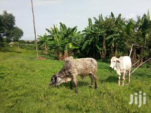 Healthy Lot Fed Fattened Bulls | Livestock & Poultry for sale in Oyo State, Oluyole