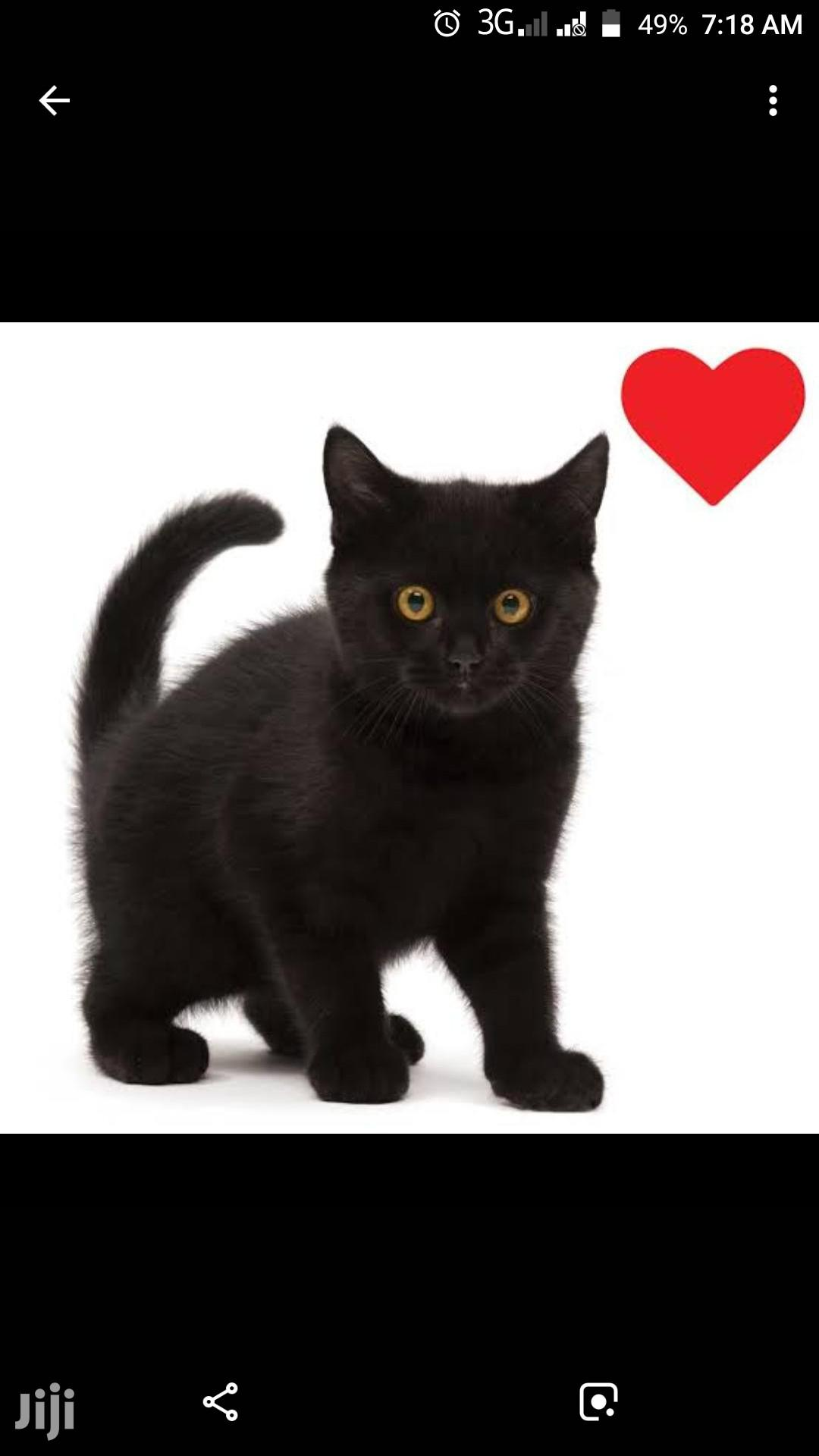 Black Cat Kitten's   Cats & Kittens for sale in Wuse 2, Abuja (FCT) State, Nigeria