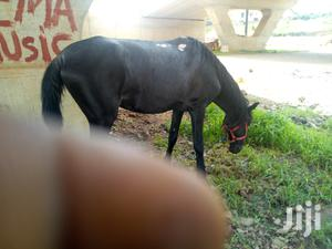 Male And Female Horse For Sale | Other Animals for sale in Abuja (FCT) State, Gudu