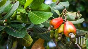 Hybrid Dwarf Cashew Seedlings | Feeds, Supplements & Seeds for sale in Oyo State, Ibadan