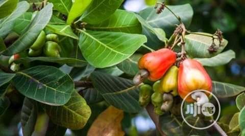 Hybrid Dwarf Cashew Seedlings