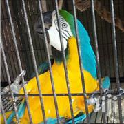 Yellow Macaw Parrot | Birds for sale in Lagos State, Lekki Phase 1