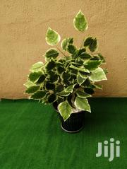 Potted Trees | Landscaping & Gardening Services for sale in Rivers State, Akuku Toru