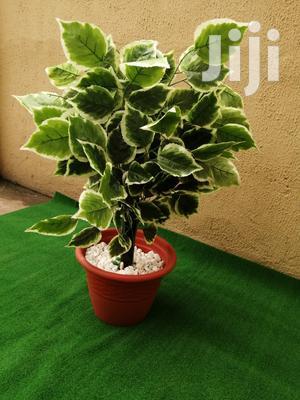 Indoor Flowing Plants For Sale | Garden for sale in Abuja (FCT) State, Garki 2