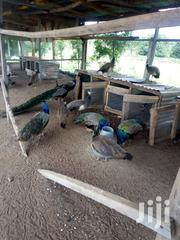 Peacocks For Sale | Birds for sale in Oyo State, Ibadan