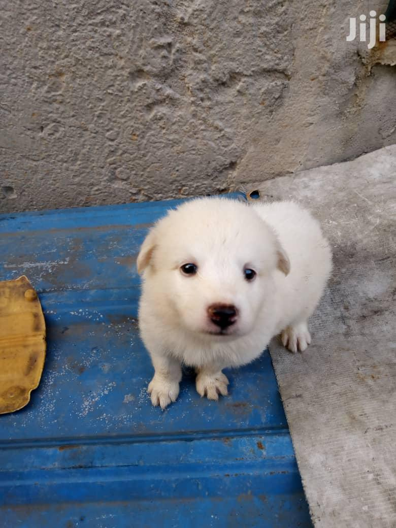 Archive Samoyed Puppies Available For Sale In Ojo Dogs Puppies Fabowale Keji Jiji Ng