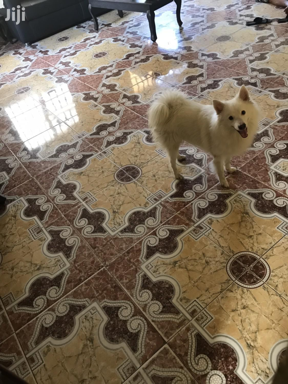 Adult Male Purebred American Eskimo Dog