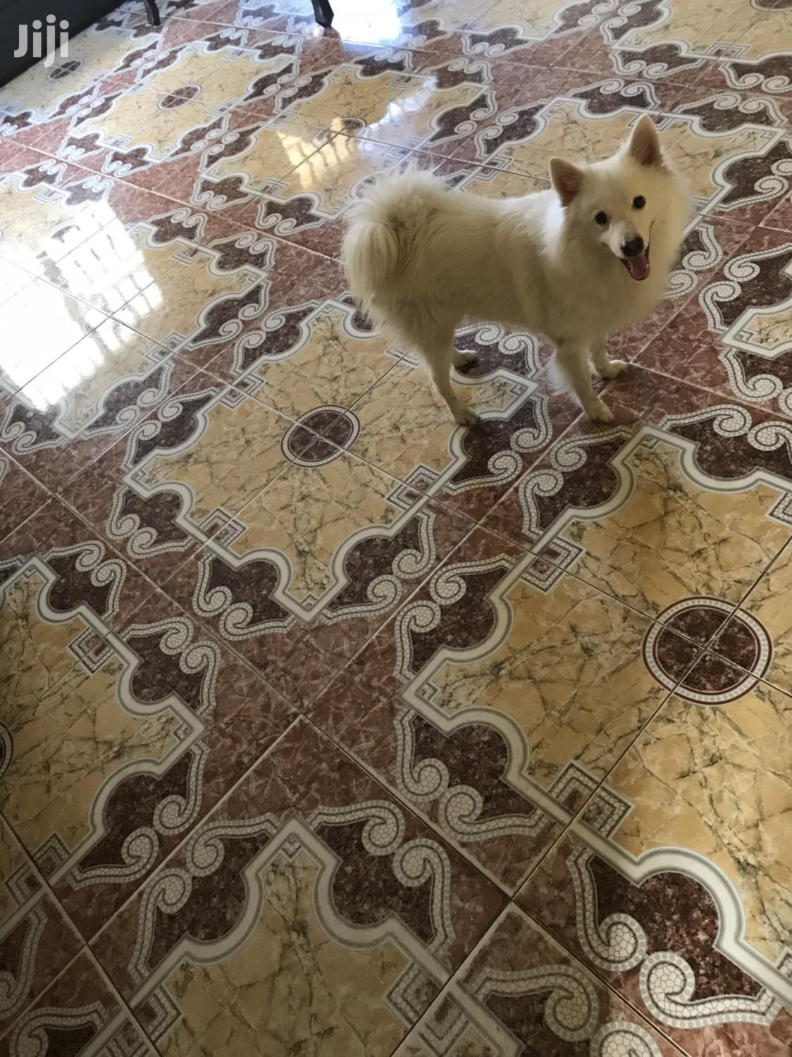 Adult Male Purebred American Eskimo Dog   Dogs & Puppies for sale in Ikeja, Lagos State, Nigeria