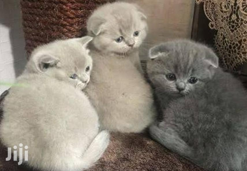 Scottish Fold   Cats & Kittens for sale in Wuse 2, Abuja (FCT) State, Nigeria