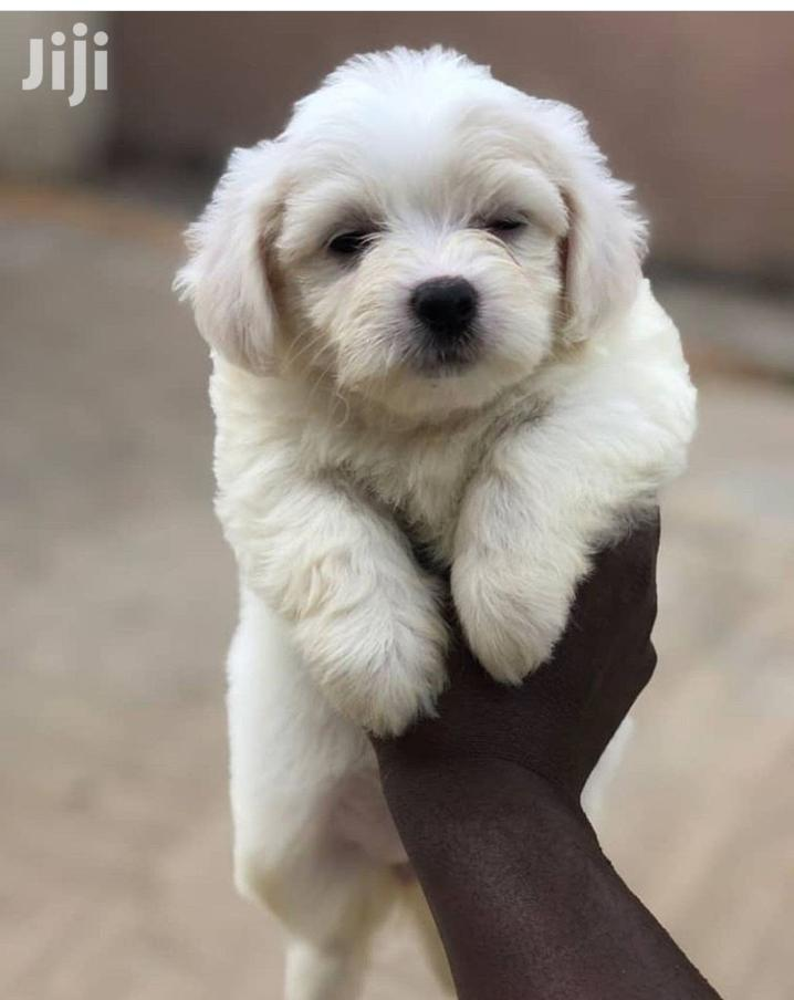 Young Female Purebred Lhasa Apso