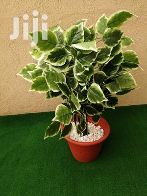 Indoor Plantain Tree | Garden for sale in Abia State, Ohafia