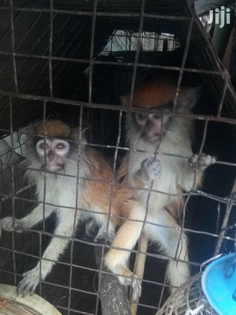 Monkey For Sale | Other Animals for sale in Lagos State, Nigeria