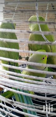 Parakeet Parrots | Birds for sale in Lagos State, Alimosho