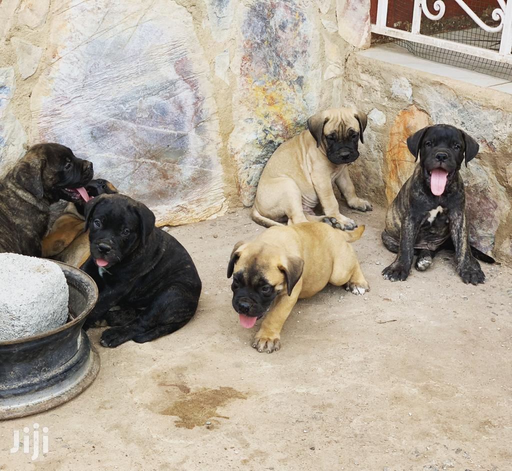 Baby Female Purebred Boerboel | Dogs & Puppies for sale in Surulere, Lagos State, Nigeria