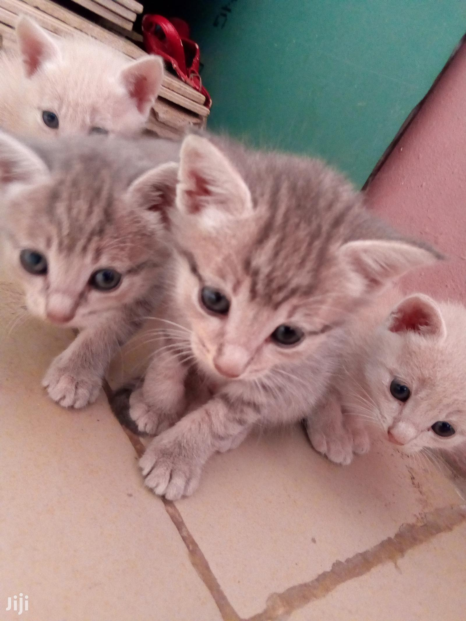 Archive: 1-3 Month Male Purebred American Shorthair