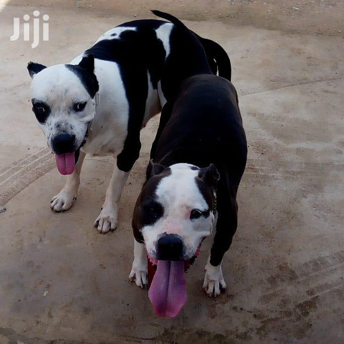 Baby Female Purebred American Pit Bull Terrier | Dogs & Puppies for sale in Lekki Phase 1, Lagos State, Nigeria