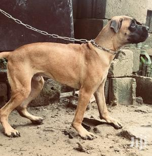 Young Male Purebred Boerboel | Dogs & Puppies for sale in Lagos State, Ikorodu