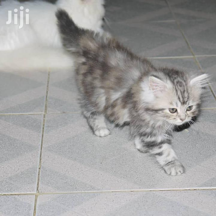 Persian Cats For Sale | Cats & Kittens for sale in Wuse 2, Abuja (FCT) State, Nigeria