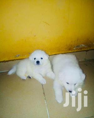 Baby Male Purebred American Eskimo   Dogs & Puppies for sale in Lagos State, Ikorodu