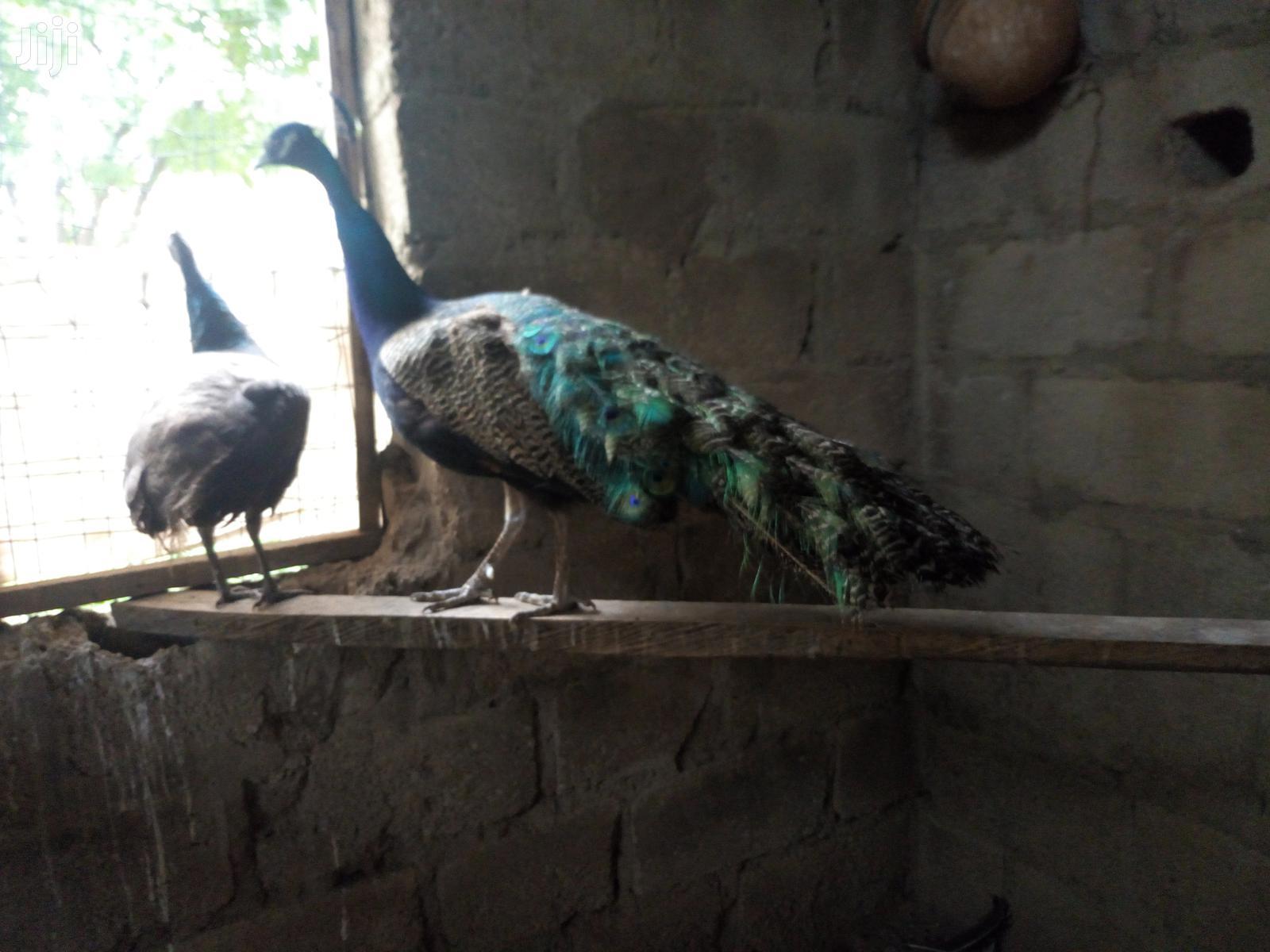 Rainbow Peacock Male & Female