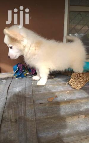 Young Female Purebred American Eskimo   Dogs & Puppies for sale in Oyo State, Ibadan