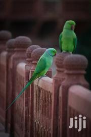 India Ringneck | Birds for sale in Lagos State, Lagos Island