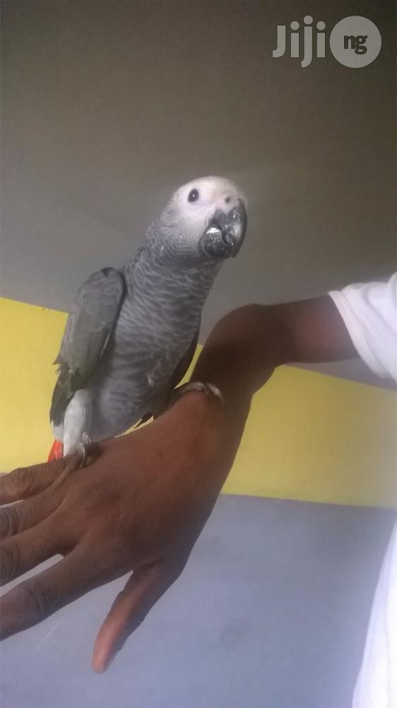 Africa Grey Parrot For Sale