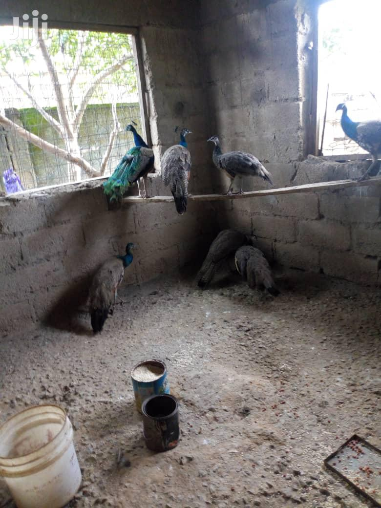 Male And Female Peacock For Sale | Birds for sale in Lagos State, Nigeria