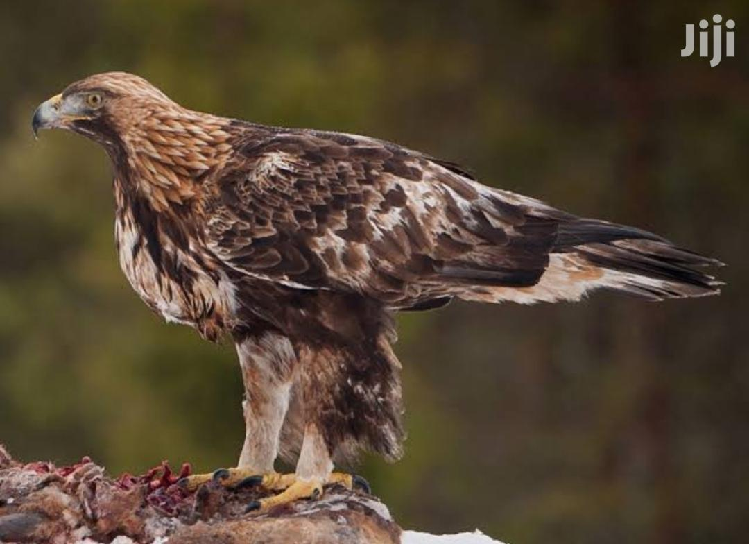 Golden Eagle For Sale