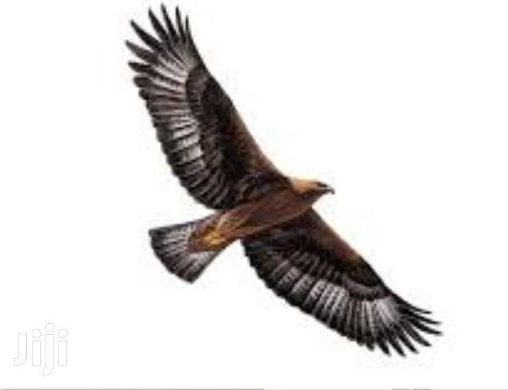 Golden Eagle For Sale | Birds for sale in Lekki Phase 1, Lagos State, Nigeria