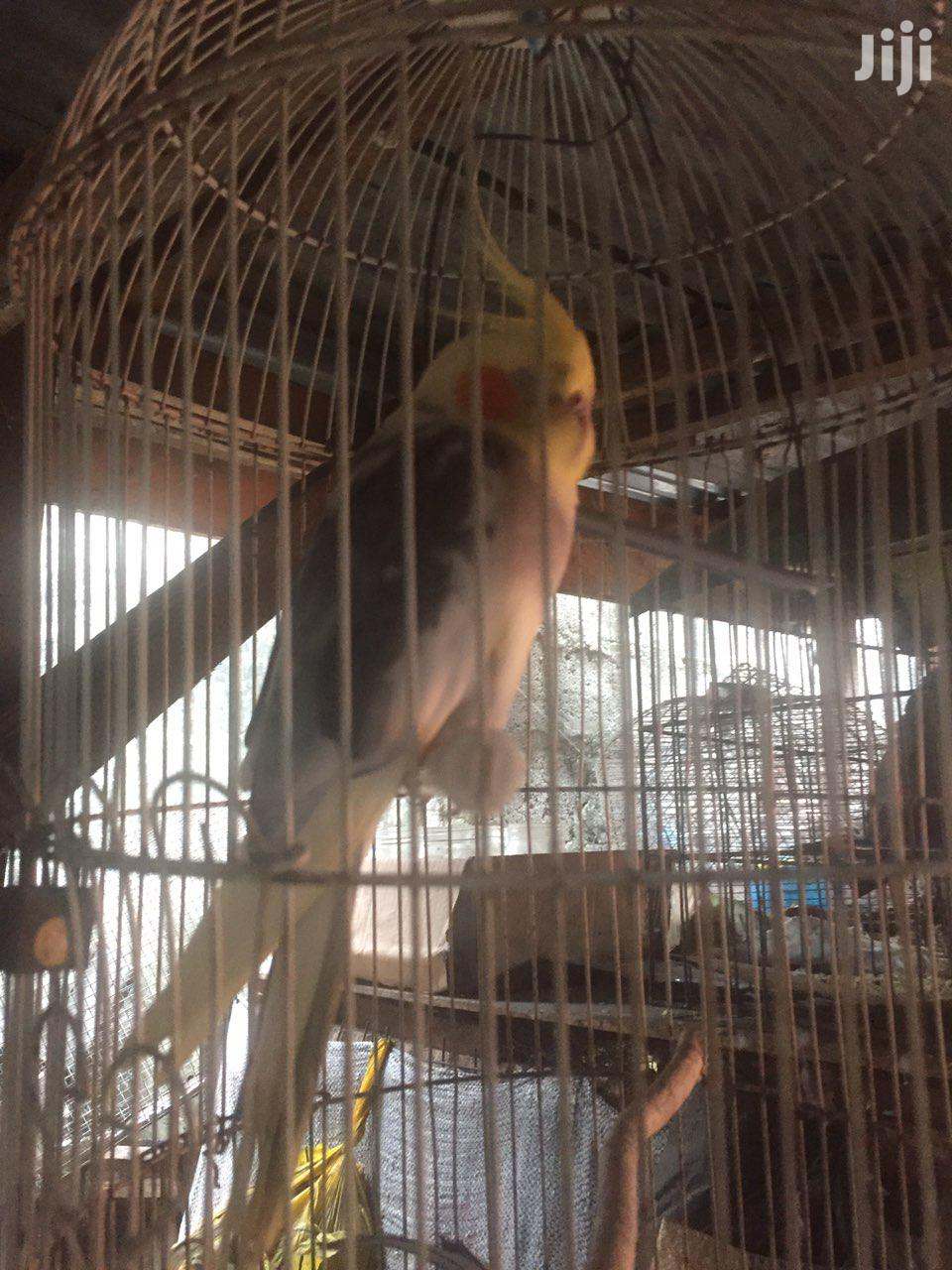 Imported Cockatiel For Sale