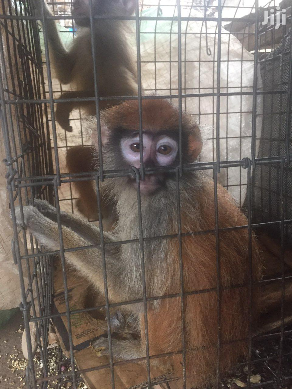 Yellow Patas Monkey For Sale