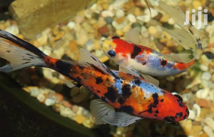 Shubunki Fish