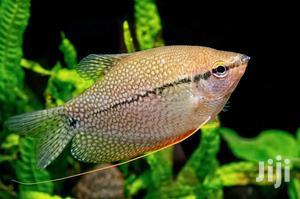 Pearl Gourami | Fish for sale in Lagos State, Ikeja