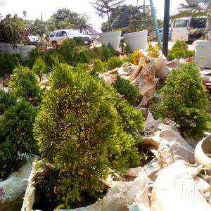 Juniper Plant Aka Pine Plant | Garden for sale in Lagos State